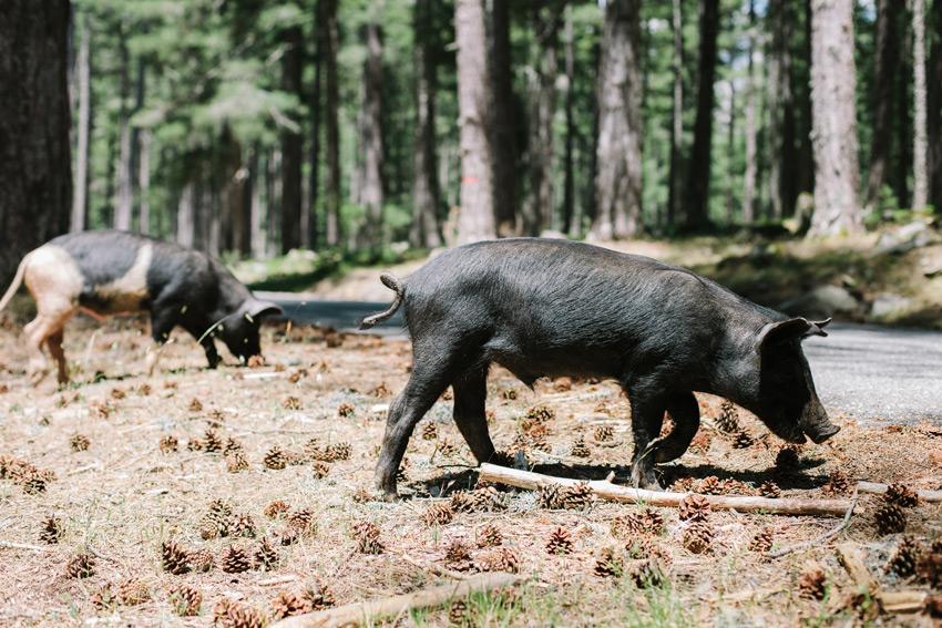 pigs on Corsica